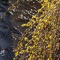 写真: レンギョウ咲いて・・