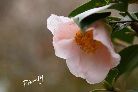 椿 優しい pink..