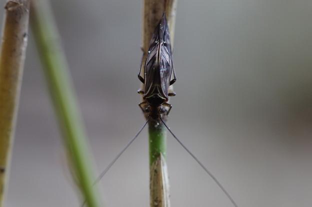 目玉飛び出た昆虫 等倍
