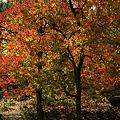 写真: 黄葉のナンキンハゼの木!(111112)
