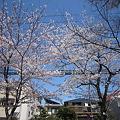 写真: 桜 (6)