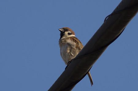 自宅で野鳥4