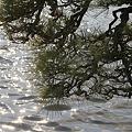 岡山後楽園の松