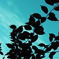 写真: 逆光の葉っぱ