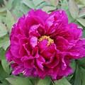 Photos: 牡丹の花