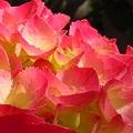 Photos: 薄紅黄色な梅雨の花