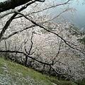 Photos: N山桜2