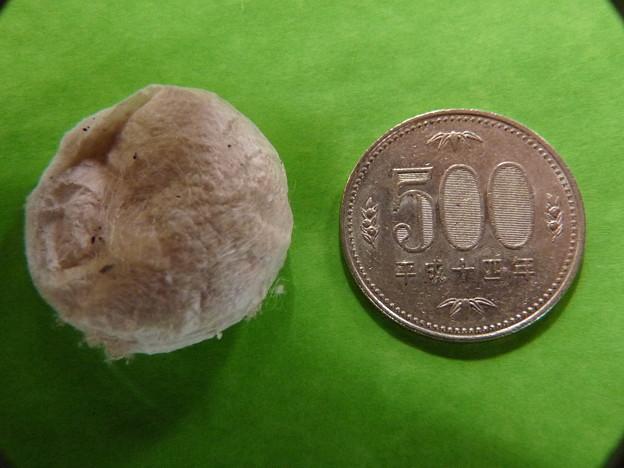 アシダカグモの画像 p1_16
