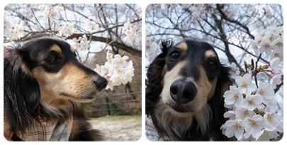 20120409 MAROと桜(若草山 頂上)