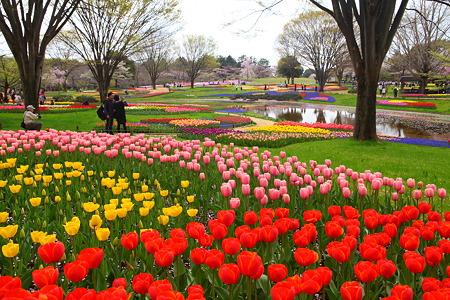 国営昭和記念公園のチューリップ