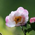 秋の深まり、山茶花の花