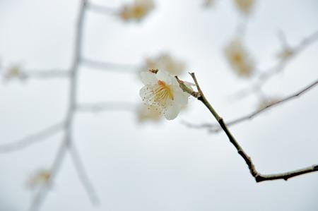 月ヶ瀬で梅撮影2012-5