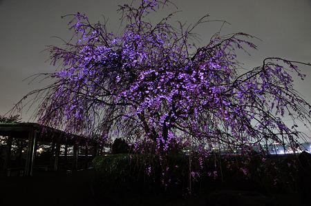 自力ライトアップで桜撮影・2