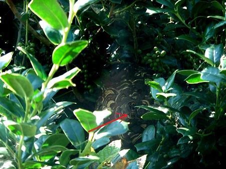 スズメバチ帰巣