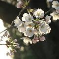 Photos: 暮桜