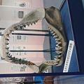写真: 第七目的・企画展「サメのふしぎ」。ムカシオオホホジロザメでかい!