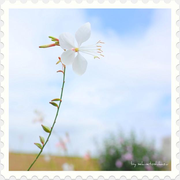 <花切手*中空の白蝶草>